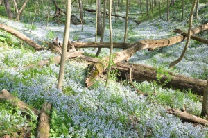 Bluebells near the East Fork of the White River. Martin County, Indiana