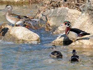 Wood ducks on Beech Creek, Center township.